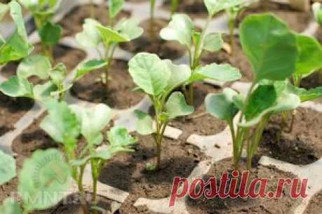 Как вырастить капусту брокколи на огороде