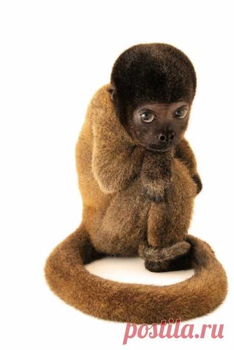 Молодая шерстистая обезьяна из Бразилии на этом снимке Джоула Сартори была домашним питомцем. Прежние хозяева не обеспечивали ее необходимым питанием. Ее мать, скорее всего, погибла при отлове детеныша. Экологическая полиция спасла молодую особь, и теперь она получит необходимое лечение, но оставшуюся жизнь ей придется провести в неволе. Из-за подобных инцидентов и многих других факторов мир может лишиться множества редких видов. В большой статье рассказываем (и показываем), какие именно…