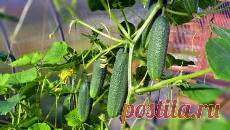 Как увеличить урожай огурцов в два раза,и продлить плодоношение до осени. | Дачные советы | Яндекс Дзен