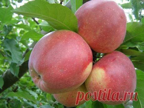 В саду надо «ГНУТЬ», гнуть Яблони, а не спину. Как заставить плодоносить яблони и увеличить Урожай   Сад, огород, наука и ... лень   Яндекс Дзен