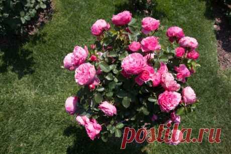 Чем канадские розы хороши для русского сада   Идеальный огород   Яндекс Дзен