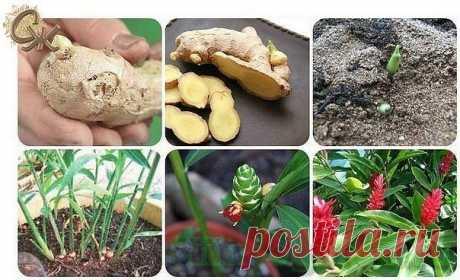 Как вырастить имбирь на даче в открытом грунте