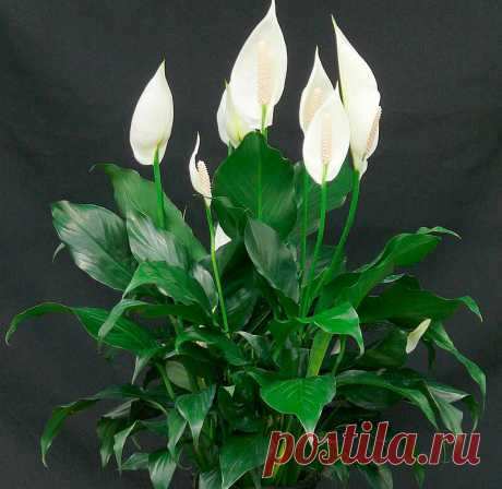 Спатифиллум - растение Парус.