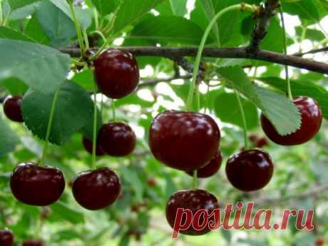How to grow up cherry in the garden. Choice of the place and correct landing of cherry