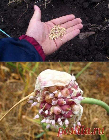 Сажаем чеснок семенами по осени! Не обычный способ размножения | Любимая Дача | Яндекс Дзен