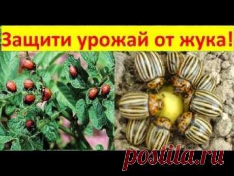 Колорадский жук - беспощадный вредитель будущего урожая картофеля. В этом видео показано несколько проверенных способов борьбы с колорадским жуком без химии....