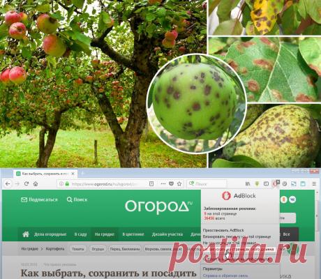 Парша на яблоне и груше: как бороться с болезнью и не допустить ее развития | В саду (Огород.ru)