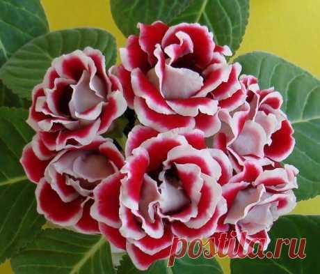 ГЛОКСИНИЯ(СИННИНГИЯ). Глоксиния или синнингия представитель семейства геснериевых - популярное комнатное растение, которое ценится за красивые цветки и продолжительное цветение.Цветки крупные, колокольчатой или трубчатой ф…