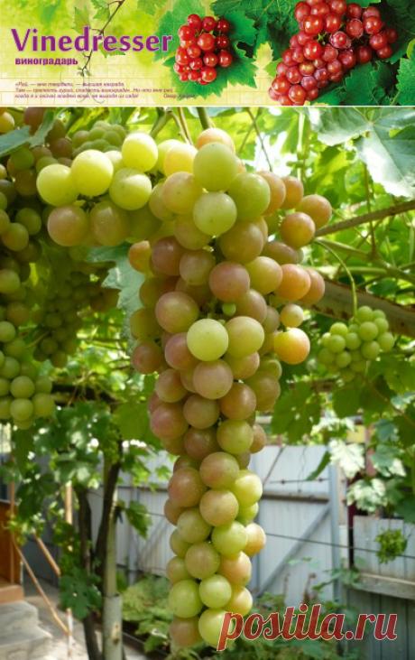 Уход за виноградом в июне-июле. Календарь работ.