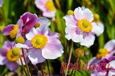 15 красивых и неприхотливых многолетников для сада   Цветники и клумбы (Огород.ru)