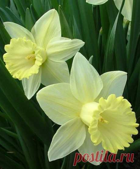 И дивный красавец, влюблённый Нарцисс, Расцвёл над ручьём и глядит на себя, Пока не умрёт, бесконечно любя… Шелли Мимоза