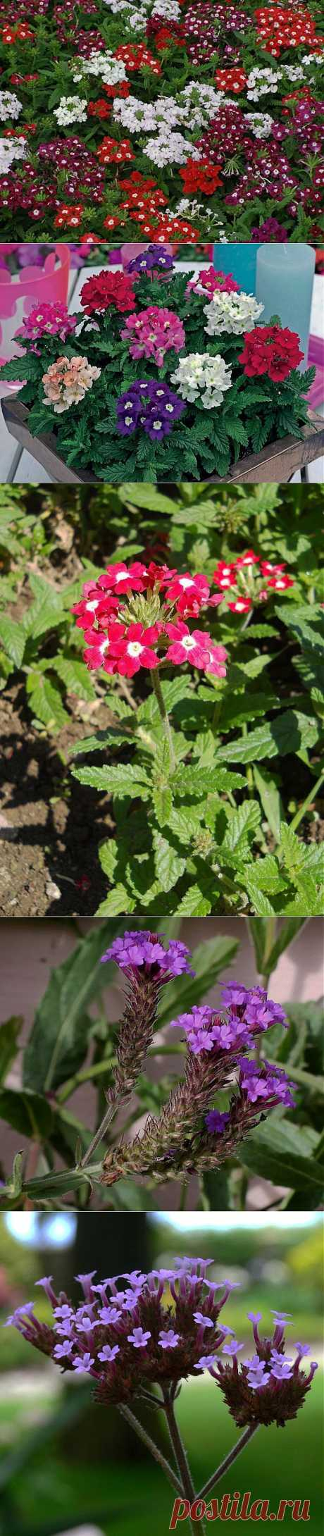 Unpretentious beauty verbena: cultivation and leaving. Its touching silhouettes it is proud flaunt on beds even of the beginning gardeners. The blossoming period at a plant quite long — if in due time to tear off faded buds, then the verbena will keep the beauty practically to frosts.