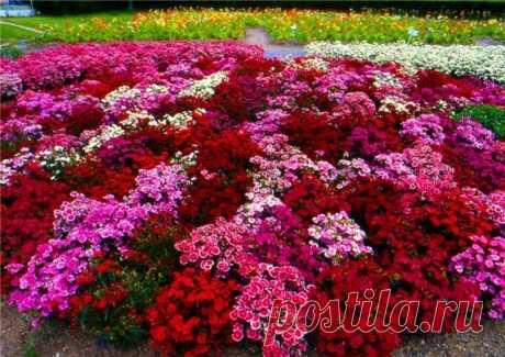 Formula of plentiful blossoming of petunias