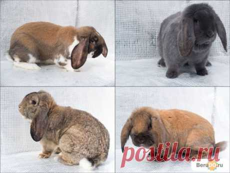 Кролики французские бараны - купить по недорогой цене