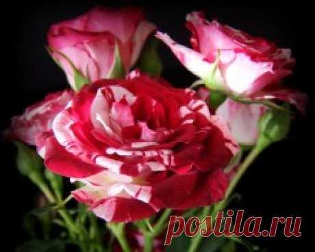 Розы обои (3328 фото) для рабочего стола, скачать картинки:2