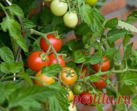 Чем опрыскивать помидоры от болезней