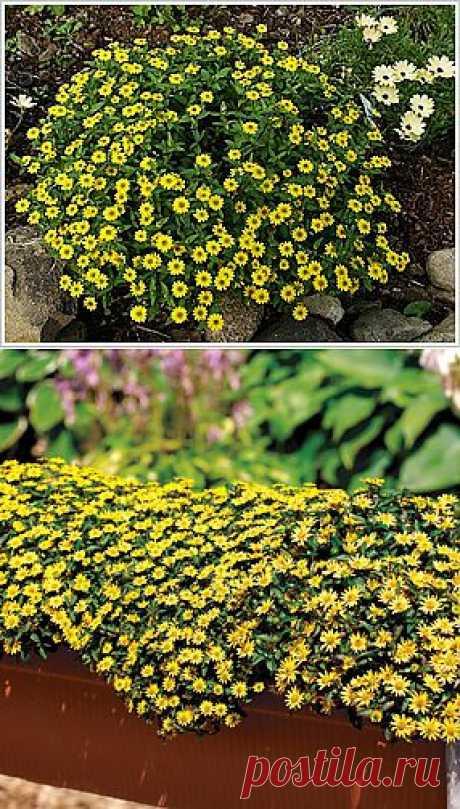 Санвиталия-почвопокровные и ампельные подсолнухи. Санвиталия распростертая – очень необычный стелющийся однолетник. Семена ее совсем недавно появились у нас в продаже. Используют это цветочное растениее чаще всего в тех местах, где необходимо быстро и плотно закрыть почву.
