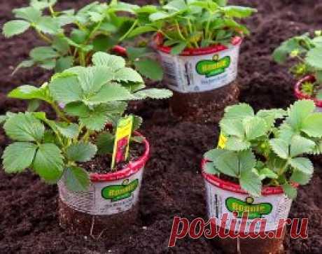 Рассада клубники: как выбрать и купить здоровые саженцы | В саду (Огород.ru)