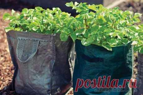 Картофель в мешках: необычный метод выращивания для огородников-экспериментаторов
