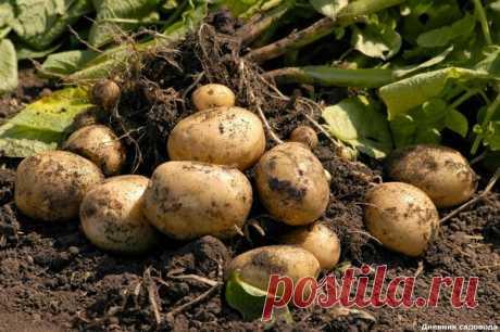 Глупые ошибки: из-за которых урожай вашего картофеля становится очень маленьким | Дневник садовода | Яндекс Дзен