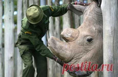 Последний в мире самец белого носорога по кличке Судан пошел на поправку, ветеринары настроены оптимистично