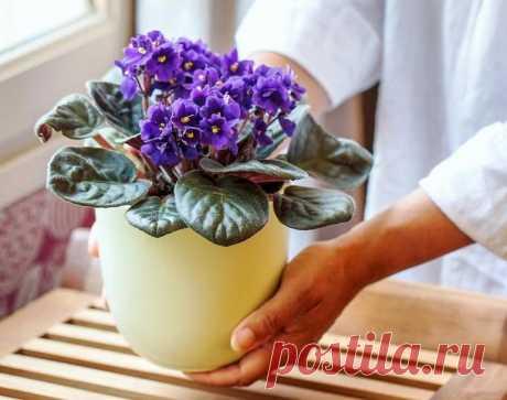 Как омолодить фиалку, чтобы цветок снова радовал внешним видом и пышным цветением