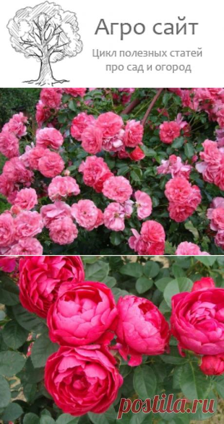 Разновидности роз - сортовые группы
