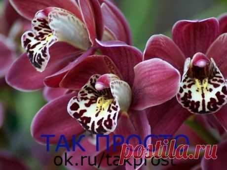 3 ПРАВИЛА КРАСИВОЙ ОРХИДЕИ. ЭТО ДОЛЖЕН ЗНАТЬ КАЖДЫЙ! Сохраните, чтобы не потерять! Не затягивайте с пересадкой Пересаживают орхидеи один раз в два-три года, по окончании цветения или в конце периода покоя. Но часто это приходится делать сразу после покупки.  Дело в том, что перед продажей орхидеи пересаживают в более влагоемкий субстрат, чем им требуется. Это позволяет растениям перенести транспортировку, но может вызвать загнивание корней. В этом случае с пересадкой стоит поторопиться. Бояться