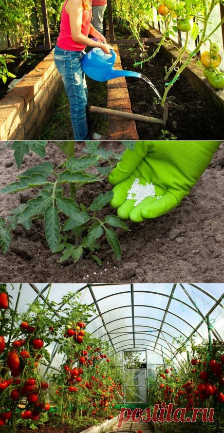 Выращивание томатов в теплице: 4 непоправимых ошибки многих дачников | Блоги о даче, рецептах, рыбалке #Садидача, #Теплицы, #Овощи, #Помидоры, #Участок  Построить теплицу и посадить в нее томатную рассаду, это только половина дела. При неправильном уходе за помидорами вы рискуете остаться без урожая. И будут попусту потрачены и время и затраты...