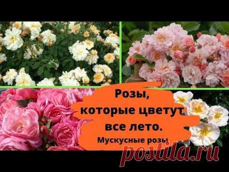 Розы, которые цветут все лето и хорошо зимуют. Мускусные розы
