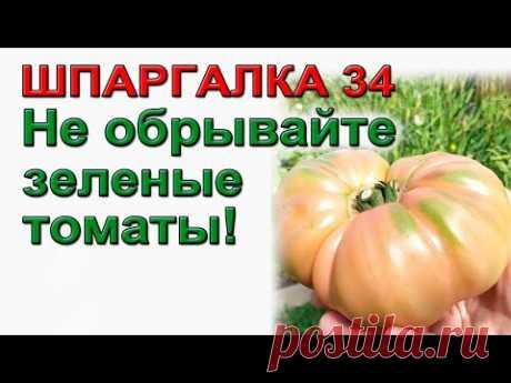 ШПАРГАЛКА 34. Три способа ускорить созревание томатов.