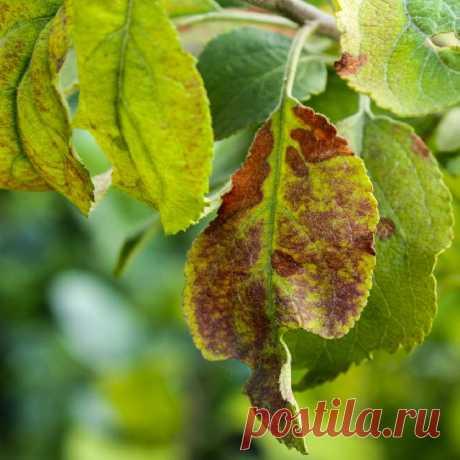 Топ-7 болезней яблонь (с фото) и их лечение