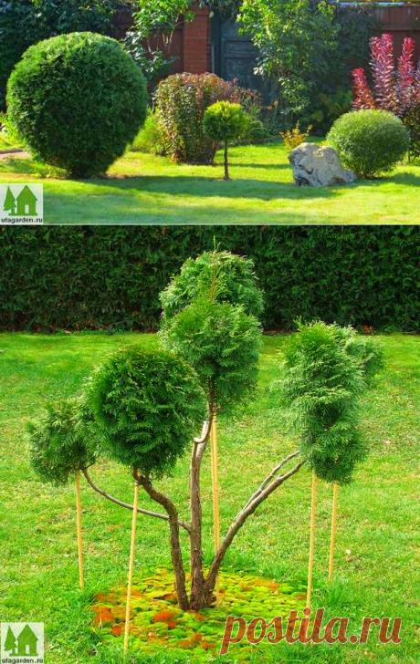 Ниваки | Дачная жизнь - сад, огород, дача  Декоративная обрезка туи (ниваки)...