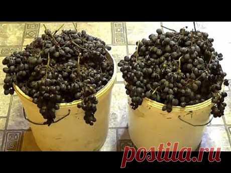 Домашнее вино из винограда  Простой рецепт