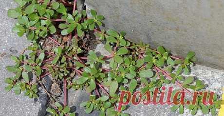 Если ты заметишь это растение у себя во дворе, не спеши вырывать его с корнем!  Это растение хорошо знакомо всем садоводам: битвы с портулаком ведутся жестокие, это на удивление живучий сорняк. Его побеги невероятно сильны, растение может жить 25 лет! Я всегда считал его напасть…