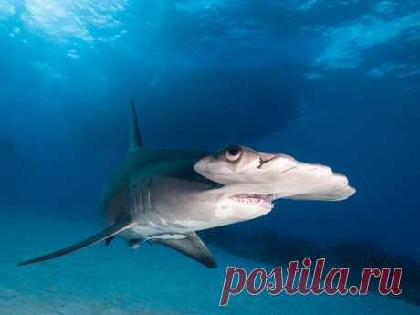 Great Hammerhead Shark Explore altsaint's photos on Flickr. altsaint has uploaded 2960 photos to Flickr.