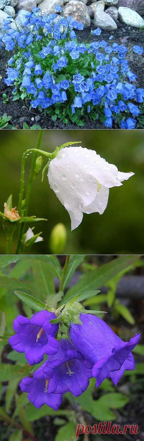 Выращивание колокольчиков. Колокольчики не только неприхотливы, но и очень декоративны и цветут в течение практически всего лета.