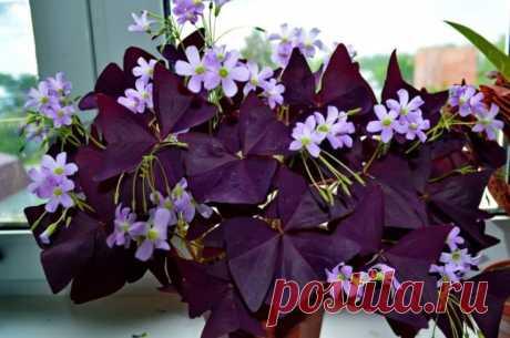 Цветок оксалис – одно из самых популярных растений, выращиваемых дома. Его относят к семейству кисличных. Название этих представителей флоры говорит само за себя: их листья обладают кисловатым