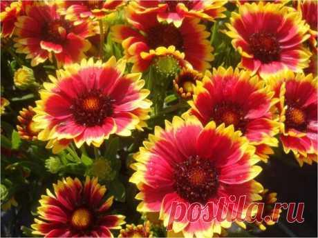 Гайлардия в цветочном оформлении. Размножают.   Дача, сад, огород, рыбалка, рецепты, красота, здоровье