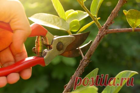 Нужно ли летом обрезать яблони и другие плодовые деревья