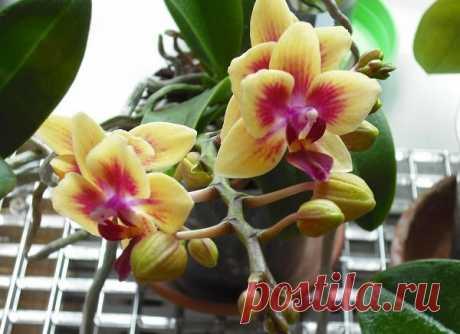 Как простимулировать цветение фаленопсиса  Неужели существует способ заставить капризную орхидею зацвести? Существует, причем целых два! Но перед применением одного и второго учти, что стимулировать цветение можно только у взрослых, здоровых и отдохнувших комнатных растений. Ни в коем случае не проводи подобные эксперименты над молодыми и ослабленными орхидеями, а также над экземплярами, которые отцвели совсем недавно.  Способ № 1 — стимуляция перепадом температур Не секре...