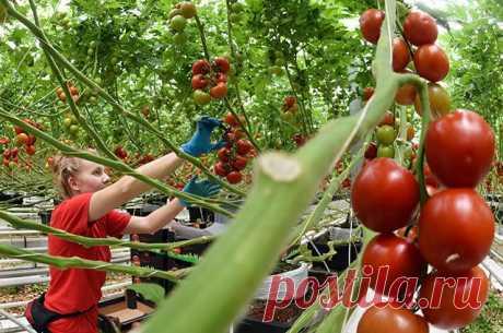 «ЛЕЧЕБНИК» ДЛЯ ОВОЩНЫХ И ПЛОДОВЫХ КУЛЬТУР: ПОМИДОРЫ      Ничто не портит настроение садовода так сильно, как заболевшие растения и потерянный урожай. Однако многие случаи излечимы!  ! На растущем плоде с противоположной стороны от плодоножки появляется…