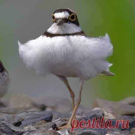 Птичка балерина - малый зуёк