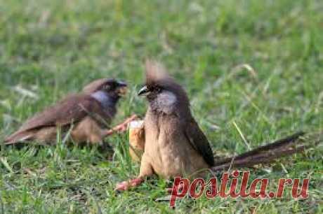 Птица-мышь бурокрылая | Zooclub сайт о животных и растениях