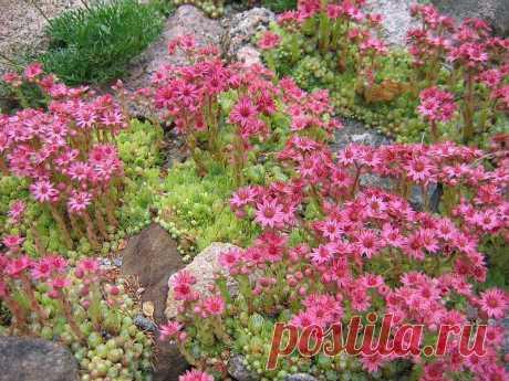 Каменная роза (молодило): фото, посадка своими руками и уход