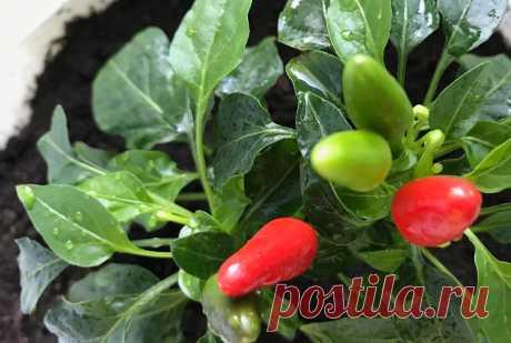 Как посеять перец, чтобы он дал в 2 раза больше урожая – рассказываю про свою фишку | Зелёные истории | Яндекс Дзен