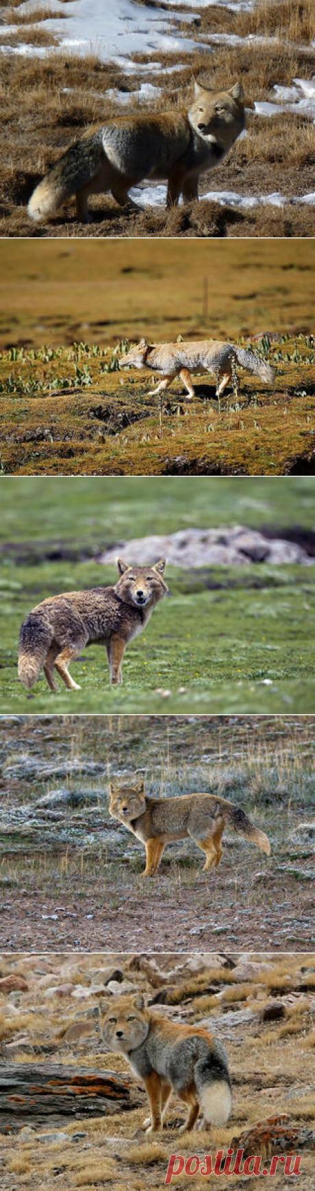 Смотреть изображения тибетских лисиц | Зооляндия