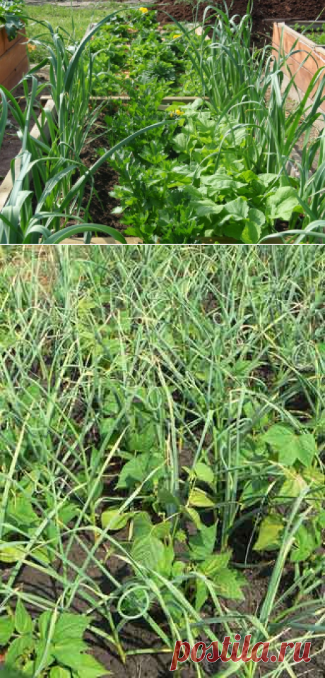 Experience of cultivation of garlic in a garden — 6 hundred parts