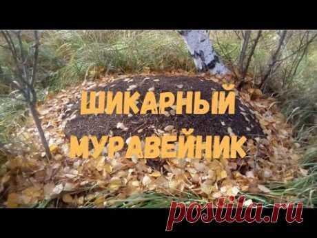 Гуляя по лесу, набрёл на большой муравейник - YouTube