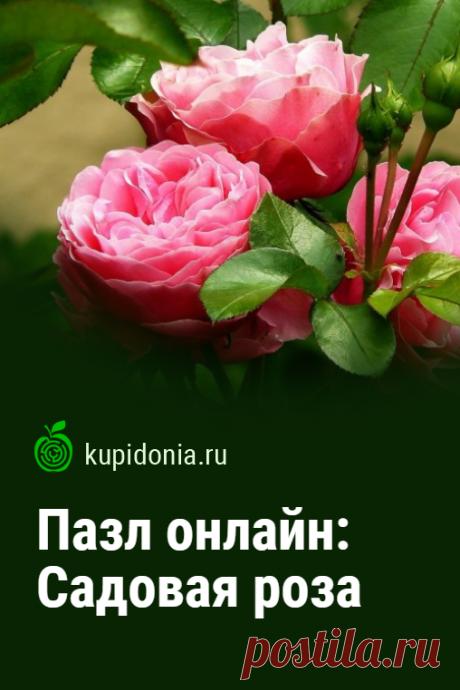 Пазл онлайн: Садовая роза. Красивый пазл онлайн с роскошной садовой розой. Собирай пазлы на сайте! Тренируй свой мозг!